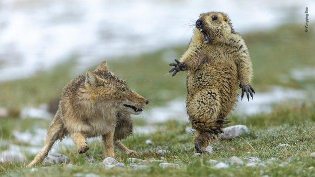 marmot fox